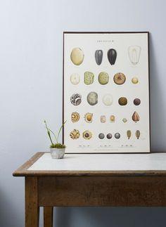 Vintage Seed Illustrations – Susie Clegg