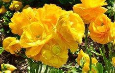 Free Image on Pixabay - Ranunculus, Spring, Nature, Plant Free Pictures, Free Images, Spring Nature, Happy Spring, Local Real Estate, Ranunculus, Spring Flowers, Amanda, Rose
