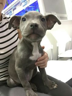 Blue Staffordshire Bull Terrier