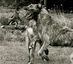 """Irish Wolfhounds. Hells yeah!! """" gentle when stroked, fierce when provoked."""""""