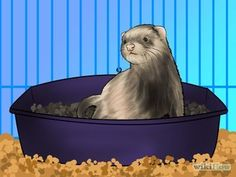 How to Litter Train Your Ferret.