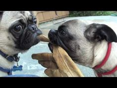 Things pugs bite.  (I hate it when my pugs nip each other's back legs!  I love how confused the pugs in this video get by the water from the hose!)