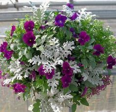 Pansies and dusty miller in hanging container #OrganicGardeningTips
