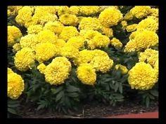 Tim's Tip of the Day: Marigold Maneuvers - Eye on Gardening TV