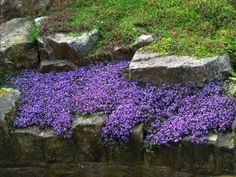 100 CREEPING THYME SEEDS. STUNNNG FOILAGE. BEAUTIFUL YEAR AROUND GROUND COVER. PERRENIAL. by CREEPING THYME. $0.01. Year Around Ground Cover & Lawn Alternative. Stunning Foilage. Fragrant. 100 + CREEPING THYME SEEDS.  PERENNIAL HERB  AROUND GROUND COVER    Very hardy, short, shrubby evergreen ground cover herb. This low growing plant  (three to six inches) is often planted between the stones or bricks in garden paths for its beauty and sweet lemon aroma that ...