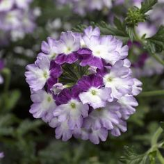 ♡ My Dream Purple Garden | Lanai® Twister Purple - Verbena