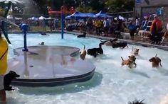 #dogs #POOLPARTY !!! haha #enjoy http://www.cribeo.com/estilo_de_vida/5091/estos-perros-si-saben-disfrutar-de-una-verdadera-pool-party