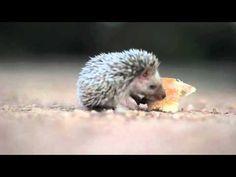 Baby Hedgehog Eats Bread