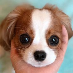 Probably the tiniest cavalier puppy who is taking the internet by storm with nothing else but his cuteness. Little Puppies, Cute Dogs And Puppies, Baby Puppies, Cute Little Animals, Cute Funny Animals, King Charles Dog, King Charles Spaniel, Cavalier King Charles, Cute Baby Dogs