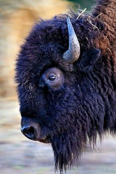 Ot much pleasure in Buffalo. except for wings Buffalo S, Buffalo Animal, Bison Pictures, Animal Pictures, Nature Animals, Animals And Pets, Cute Animals, Animal Bufalo, Buffalo Painting