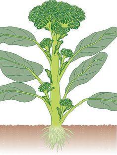 Brokkoli-Anbau Tipps