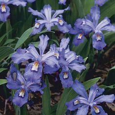 Iris Cristata Plant Iris Flowers, Lavender Flowers, Pretty Flowers, Shade Perennials, Shade Plants, Growing Flowers, Planting Flowers, Dwarf Iris, Hummingbird Plants