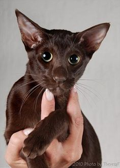 ~ Havana Brown Cat ~ love these cats I Love Cats, Crazy Cats, Cool Cats, Pretty Cats, Beautiful Cats, Siamese Cats, Cats And Kittens, Black Cat Breeds, Dog Cat