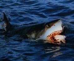 Ce requin m'a l'air très sympathique et utile. Quand un jour je serai très puissante et que j'aurais pleins d'ennemis puissants que je devrai éliminer en leur faisant faire des confessions à propos de l'argent qu'ils ont caché, je pourrais les menacer et les contraindre à tout m'avouer en les suspendant au dessus du bassin dans lequel se trouverait mon requin.  J'ai plein de bonnes idées comme ça moi!!1!