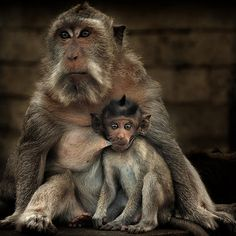 Monkey Mother Nursing  by fesign, Flickr