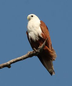 Brahminy Kite, from India.