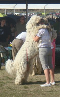 A big Komondor !