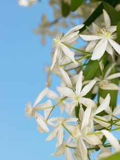 Learn how to grow and train a clematis vine with these expert tips.