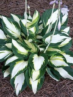 Hosta Vulcan (H. Hansen 06) If I have space for one more hosta...this one!!!