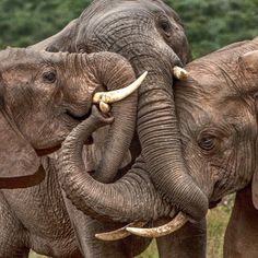 This trio of elephants show their love for one another as they get their trunks in a tangle. The three fully-grown African elephants were spotted sharing a bonding moment as they huddled together. Affectionately, they twined their trunks together for almost half an hour. Semi professional photographer Guus Quaedvlieg captured the moment while on holiday in South Africa. He had travelled to the Addo Elephant National Park near Port Elizabeth especially to get pictures of the huge animals…