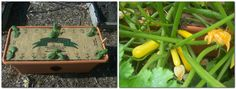 """Congratulations Colleen! – The 5th WEEKLY WINNER of our 2017 PHOTO CONTEST!   Colleen tells us, """"The Zucchini are doing very well here in Missouri. Never could give them enough water to make any fruit before the GrowBox. Every plant in this box is covered with zucchini! What a difference a few weeks makes from seedlings to harvesting!"""" – Colleen S., Madison, MO   We will be selecting a weekly winning photo all summer. Send your GrowBox™ pictures to photos@agardenpatch.com for a chance to…"""