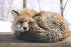 Zao Fox Village Japan: Cute fox