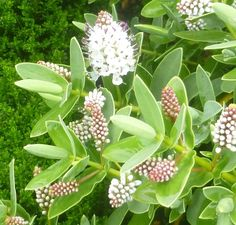 Buy Hebe albicans (Shrubby Veronica) in the UK