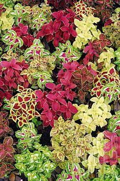 Solenostemon Coleus foliage mix