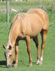 This is a mare that just about anybody can ride. She can whatever direction you want to take her. She has had 2 foals and is a great mother. Both foals are well put together and easy to handle. Picture of last baby included. Cattle For Sale, Barrel Racing, Palomino, Cute Funny Animals, Four Legged, Beautiful Horses, Animals And Pets, Handle, Dreams