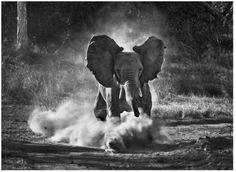 Sebastiao Salgado Print African Elephant in Zambia Africa Documentary Photographers, Famous Photographers, Wildlife Photography, Animal Photography, Urban Photography, Color Photography, Regard Animal, Post Mortem, Photo Animaliere