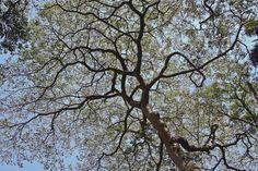O parque mais antigo da cidade, criado há mais de 200 anos, é um dos principais redutos de árvores centenárias na cidade de São Paulo. Dentre tantas, se destaca um enorme jatobá (Hymenaea courbaril) que aparenta muita idade e costuma ser visitado pelos bichos-preguiça que vivem na área verde. Nativa da Mata Atlântica paulistana, a árvore era uma das mais usadas pelos índios para fazer canoas e navegar por rios como o Tamanduateí e o Tietê: http://abr.io/4fc2