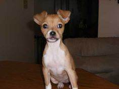 Tia - Female Chihuahua-Toy Fox Terrier Mix Puppy, Shih Tzu & Furbaby ...