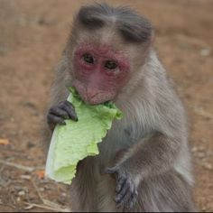 This petite Bonnet macaque, nicknamed Lil-bit, is enjoying some crunchy romaine lettuce. We provide the monkeys a variety of fruits and vegetables to supplement their nutritionally complete diet, but most individuals have their favorites and Lil-bit is no exception.