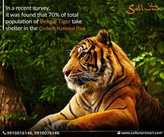 Pack up your bags & explore the wild wonderland in the resorts in Corbett. And what can be more exciting & enticing than witnessing the fearless Royal Bengal Tiger! For more details call us on +91-9910016146  Book your stay at www.sollunaresort.com  #facts #jimcorbett #sollunaresort #resortsincorbett