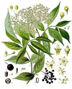 Few other plants rival the elder for superstition. How to identify elder, culinary uses of elderberry and elderflower, health benefits, lots of recipes. Illustration Botanique, Botanical Illustration, Botanical Prints, Wallpapers Whatsapp, Elderberry And Elderflower, Logo Fleur, Medicinal Herbs, Indoor Garden, Flower Power