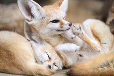 Fennec Foxes | Nyomblr on Tumblr