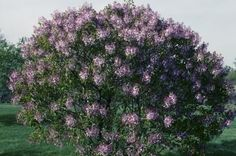 How to Propagate Lilac Bushes With Suckers thumbnail