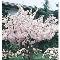 Multicolor Yoshino Cherry Flowering Tree In Pot (With Soil) Flowering Cherry Tree, Cherry Blooms, Flowering Bushes, Potted Trees, Trees And Shrubs, White Flowers, Beautiful Flowers, Deciduous Trees, Garden Trees