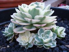 Echeveria compton carousel from Emily Dee