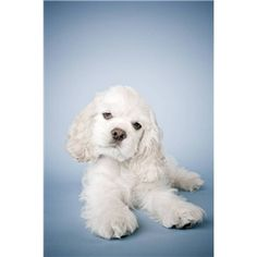 """Explore our site for more info on """"cocker spaniel puppies"""". It is an excellent place for more information. White Cocker Spaniel, Cocker Spaniel Puppies, American Cocker Spaniel, Beautiful Dogs, Animals Beautiful, Cute Puppies, Dogs And Puppies, Baby Animals, Cute Animals"""