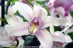 Cymbidium 'Bethlehem' Flickr - Photo Sharing! All Plants, Garden Plants, Alpine Plants, Ways To Show Love, Cymbidium Orchids, Botany, Botanical Gardens, Exotic, Succulents