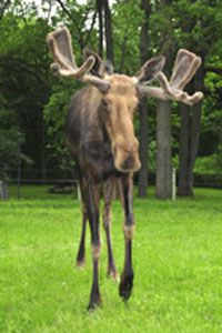 Toronto Zoo |Moose