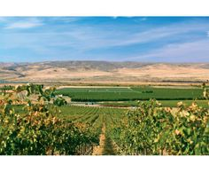 AVA Highlight: Wahluke Slope | Situated within the Columbia Valley, this 81,000 acre AVA is home to more than 20 vineyards that make up nearly 15% of Washington State's wine grape acreage. The appeal of the region is no surprise: with one of the driest, warmest climates in the state, growers are allowed almost complete control over ripening and vigor through irrigation. Top varieties for this AVA include Merlot, Syrah, Cabernet Sauvignon, Riesling, Chardonnay, and Chenin Blanc.