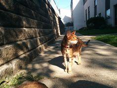 Lost Cat - Bengal - North York, Ontario, Canada M3N 2R5