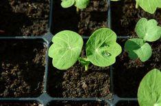how to grow nasturtium plant seedlings Farm Gardens, Outdoor Gardens, Growing Seeds, Seed Starting, Propagation, Tasty Dishes, Pesto, Gardening, Vegetables