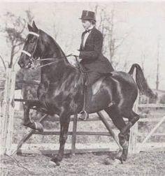American Saddlebred three gaited mare Roberta Searing was sired by Kalarama Rex.
