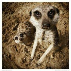 """The meerkat or suricate, Suricata suricatta, is a small mammal belonging to the mongoose family. Meerkats live in all parts of the Kalahari Desert in Botswana, in much of the Namib Desert in Namibia and southwestern Angola, and in South Africa. A group of meerkats is called a """"mob"""", """"gang"""" or """"clan"""". A meerkat clan often contains about 20 meerkats, but some super-families have 50 or more members. In captivity, meerkats have an average life span of 12–14 years, and about half this in the…"""