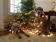 If you have Weims you'll understand