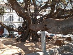 Giant Ficus Tree in Cádiz