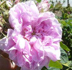 Fabien ducher rosier Rosa Centifolia /04.2016, rose très double, parfum d'exception, rosier utilisé en parfumerie, 1,5 à 2 m, XVIe siècle